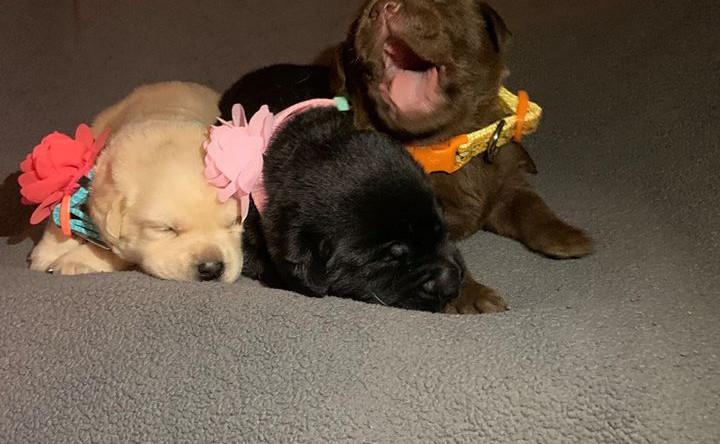 Sweet Labrador Puppies