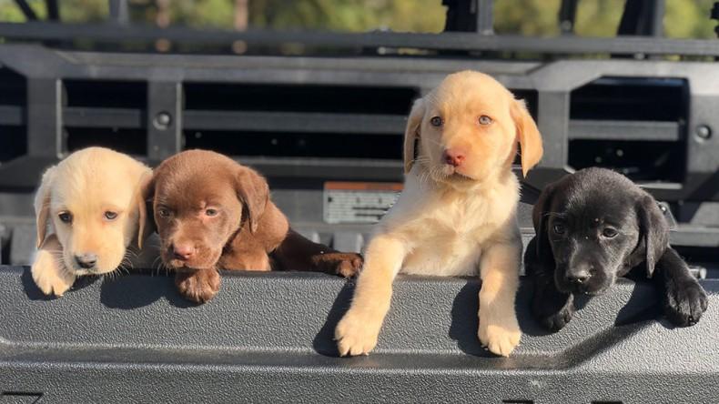 Endless Labradors